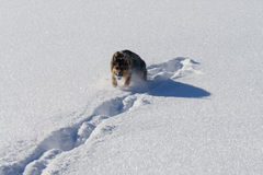 Немецкое shepard играя в снеге с снежным комом Стоковое Изображение RF