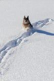 Немецкое shepard играя в снеге с снежным комом стоковое фото rf