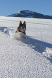 Немецкое shepard играя с снежным комом Стоковое Изображение RF