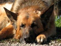 немецкое shepard Стоковая Фотография