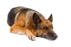 немец предпосылки изолированный над белизной sheepdog стоковое фото