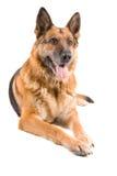 немец предпосылки изолированный над белизной sheepdog стоковая фотография