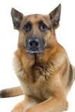 немец собаки Стоковое Изображение