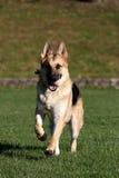 Немец Shepard бежать с его вертикалью шарика Стоковая Фотография RF