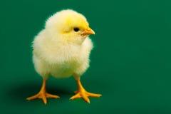 Немногая chicknen Стоковое Изображение