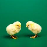 Немногая chicknen Стоковые Фото