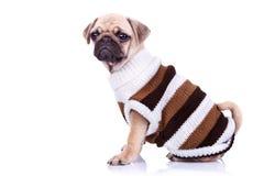 Немногая mops одежды щенка нося стоковое изображение