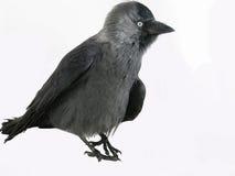 немногая raven Стоковые Фото
