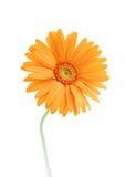 Немногие белые цветки солнцецвета на голубой предпосылке Стоковое Изображение RF