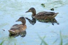 Немногие дикие утки на пруде Стоковые Изображения