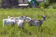 Немногие козы на выгоне в солнечном дне Стоковые Фотографии RF