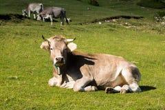 Немногие коровы в луге Стоковые Изображения RF