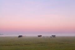 Немногие коровы на туманном выгоне в лете Стоковая Фотография