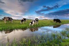 Немногие коровы пася на выгоне рекой Стоковая Фотография