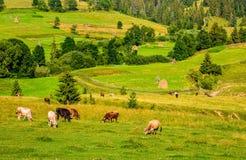 Немногие коровы пася на луге горного склона Стоковые Изображения RF