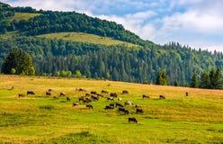 Немногие коровы пася на луге горного склона Стоковое Фото