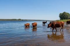 Немногие коровы, стоящ в реке на горячем после полудня лета Стоковое Изображение RF