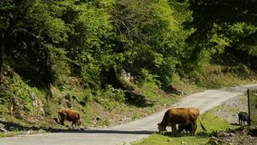 Немногие коровы с calfs пася около дороги в кавказских mountais в Kutaisi, Georgia акции видеоматериалы