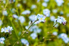 Немногие цветки незабудки стоковое изображение