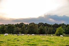 Немногие черно-белые коровы есть на выгоне Стоковые Фото