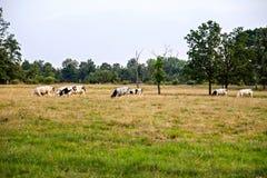 Немногие черно-белые коровы есть траву Стоковая Фотография RF