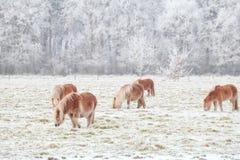 Немногий пони пася на снежном выгоне Стоковые Фотографии RF
