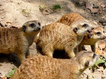 Немногий Meerkats ждать их еду Стоковое Изображение RF