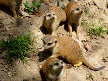 Немногий Meerkats смотря вверх Стоковые Фото