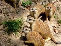 Немногий Meerkats смотря вокруг Стоковые Фото