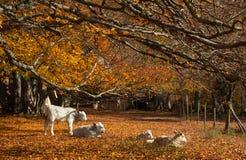 Немногое белые коровы на лесе бука осени Стоковые Изображения RF