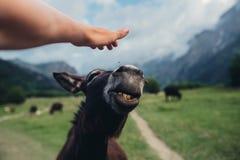 Немногое дикий burro стоковая фотография rf