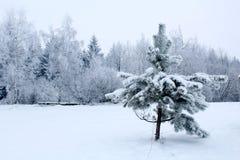 Немногое елевое дерево под снегом и лесом зимы стоковые изображения rf
