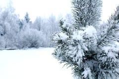 Немногое елевое дерево под снегом и лесом зимы стоковая фотография rf