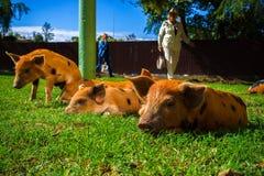 Немногое запятнанные поросята лежит на траве на солнечный день стоковое изображение