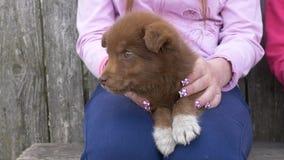 Немногое красивый красный щенок в женских руках видеоматериал