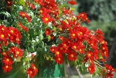 Немногое красные хризантемы стоковая фотография