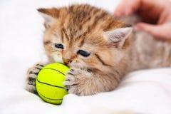 Немногое красный великобританский котенок играя с желтым шариком стоковое изображение