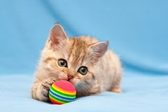Немногое красный великобританский котенок играя с красочным шариком стоковая фотография