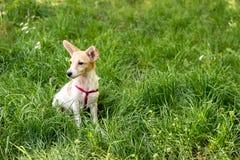 Немногое милая белая собака сидя в траве стоковые фото