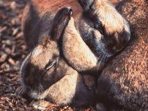 Немногое небольшие коричневые кролики прижимаясь совместно стоковые фото