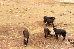 Немногое ослы пасет в луге стоковое изображение