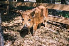 Немногое отечественная свинья идя через древесины Свинья Брауна смотрит в камеру Молодой любопытный хряк r Растя свиньи в a стоковая фотография
