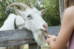 Немногое ребенок кормит козу Заботить для животных с концепции детства стоковая фотография