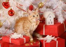 Немногое рыжеволосый котенок лижет его лапку стоковое фото rf