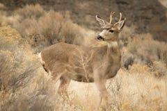 Немногое самец оленя перед утесом стоковое фото rf