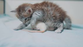 Немногое серый кот котенка и белый один другого обнюхивать крысы смешная редкая видео- мышь крысы и маленький милый образ жизни к сток-видео