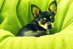 Немногое смешной прекрасный щенок чихуахуа стоковая фотография