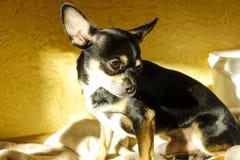 Немногое смешной прекрасный щенок чихуахуа стоковые изображения rf