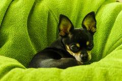 Немногое смешной прекрасный щенок чихуахуа стоковые изображения