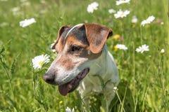 Немногое собака сидит в зацветая луге весной Леты терьера dog11 Джек Рассела старые стоковое изображение rf